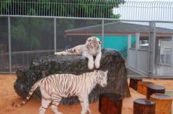 бенгальские_тигры_паттайя-560x437