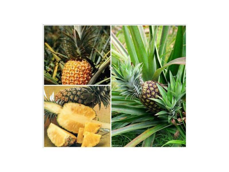 Фестиваль ананаса в Таиланде — выбери свой ананас
