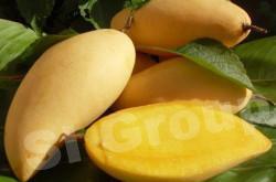 Фрукты Тайланда: Манго (mango)