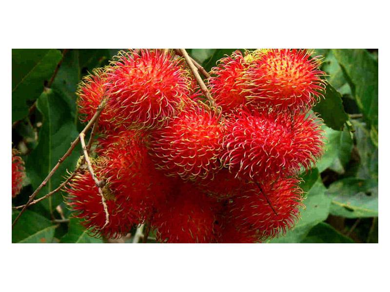 Thaïlande Fruits: Rambutan - fruits poilue