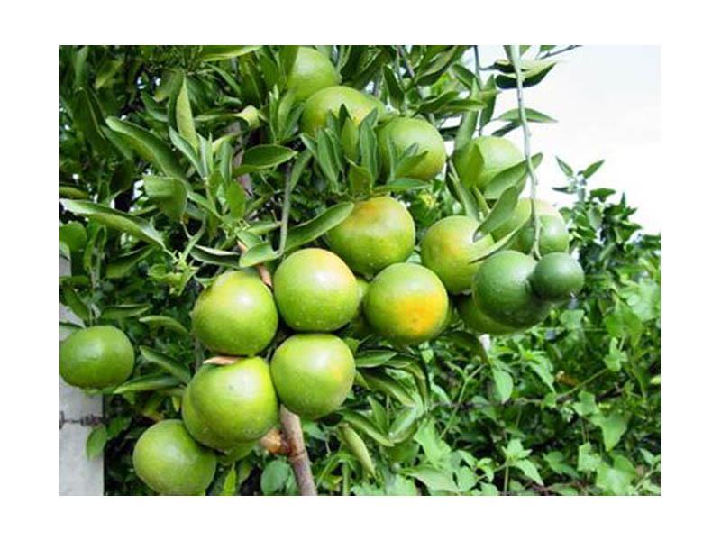 Фрукты Таиланда: Зеленый мандарин - Танжерин