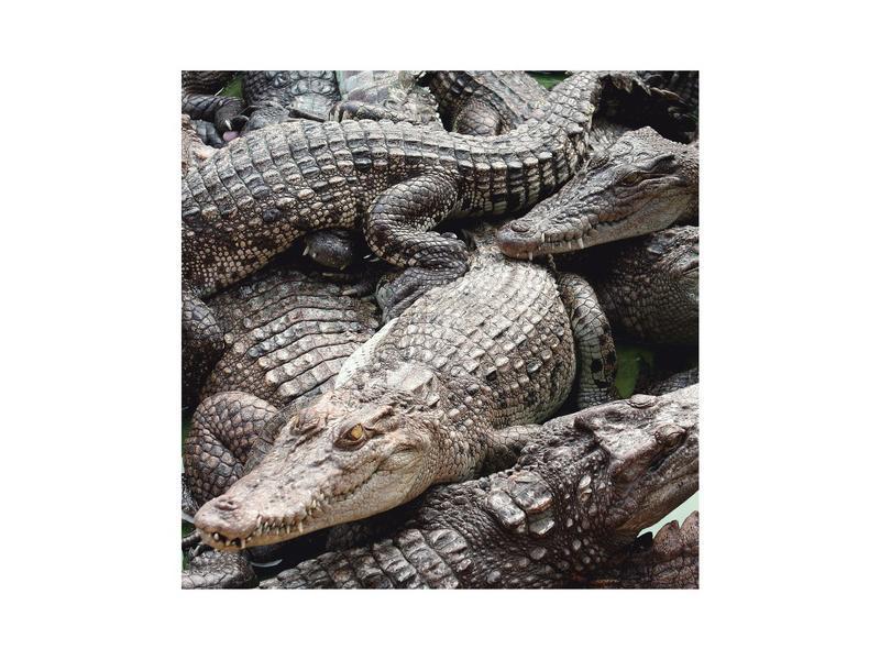 Крокодилы в Тайланде — Крокодилы