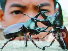 Бои жуков в Тайланде
