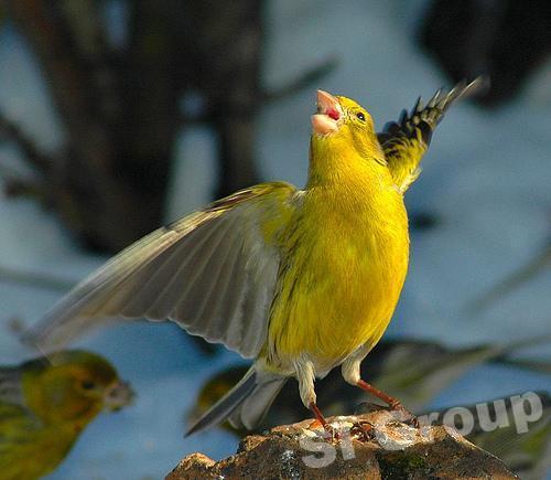 Конкурс птичего пения в Тайланде