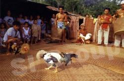 Петушиные бои в Тайланде