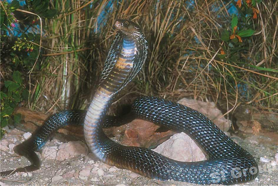 slanger thailand