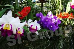 Тайланд цветы Тайланда