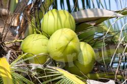Кокосовые орехи - импорт / экспорт Тайланд