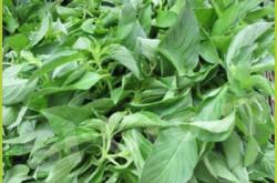 Базилик лимонный (волосатый) Hairy Basil Thai : Manglak Season: All year round Availability: Fresh and Frozen Packaging: As per customer request