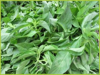 Базилик лимонный (волосатый) Hairy Basil  Thai : Manglak Season: All year round Availability: Fresh and Frozen Packaging: As per customer request