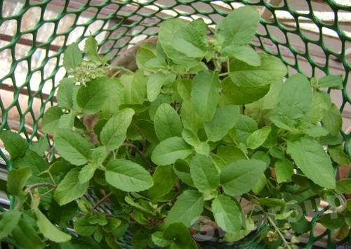 Базилик священный Holy Basil  Thai : Kaplao Season: All year round Availability: Fresh and Frozen Packaging: As per customer request