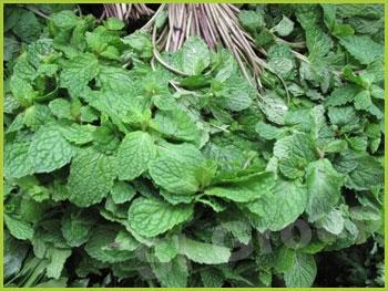 Мята Spearmint  Thai : Saranae Season: All year round Availability: Fresh and Frozen Packaging: As per customer request