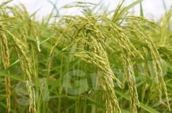 Рис органический жасминовый ORGANIC JASMINE RICE