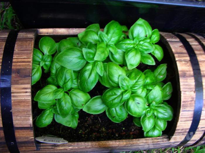 Сладкий базилик Sweet Basil Thai: Horapa Season: All year round Availability: Fresh and Frozen Packaging: As per customer request