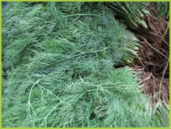 Укроп Dill  Thai : Pakcheelao Season: All year round Availability: Fresh and Frozen Packaging: As per customer request