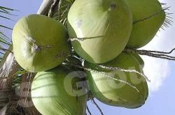 Зеленый не очищенный кокос Young Fresh Coconut in green Thai (тайское название): Ma Prao Nam Hom Season (сезонность): All year round Availability (вид): Fresh Packaging (упаковка): Carton Box